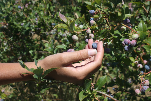 Kristina picking blueberries