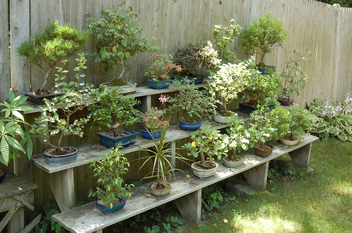 Backyard Bonsai Trees :  & decorbuzz Bonsai  Raising Exotic Miniature Trees in Your Home
