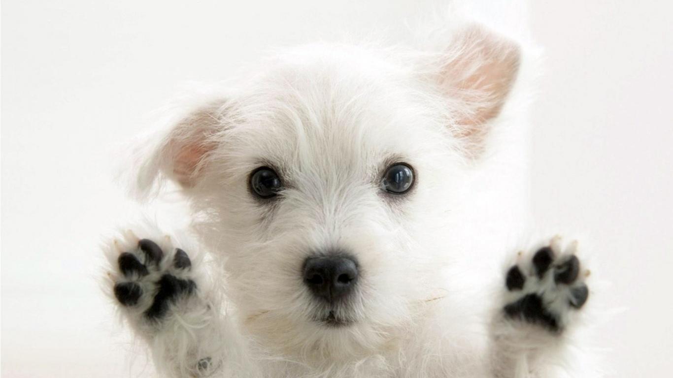 Cute white funny dog wallpaper