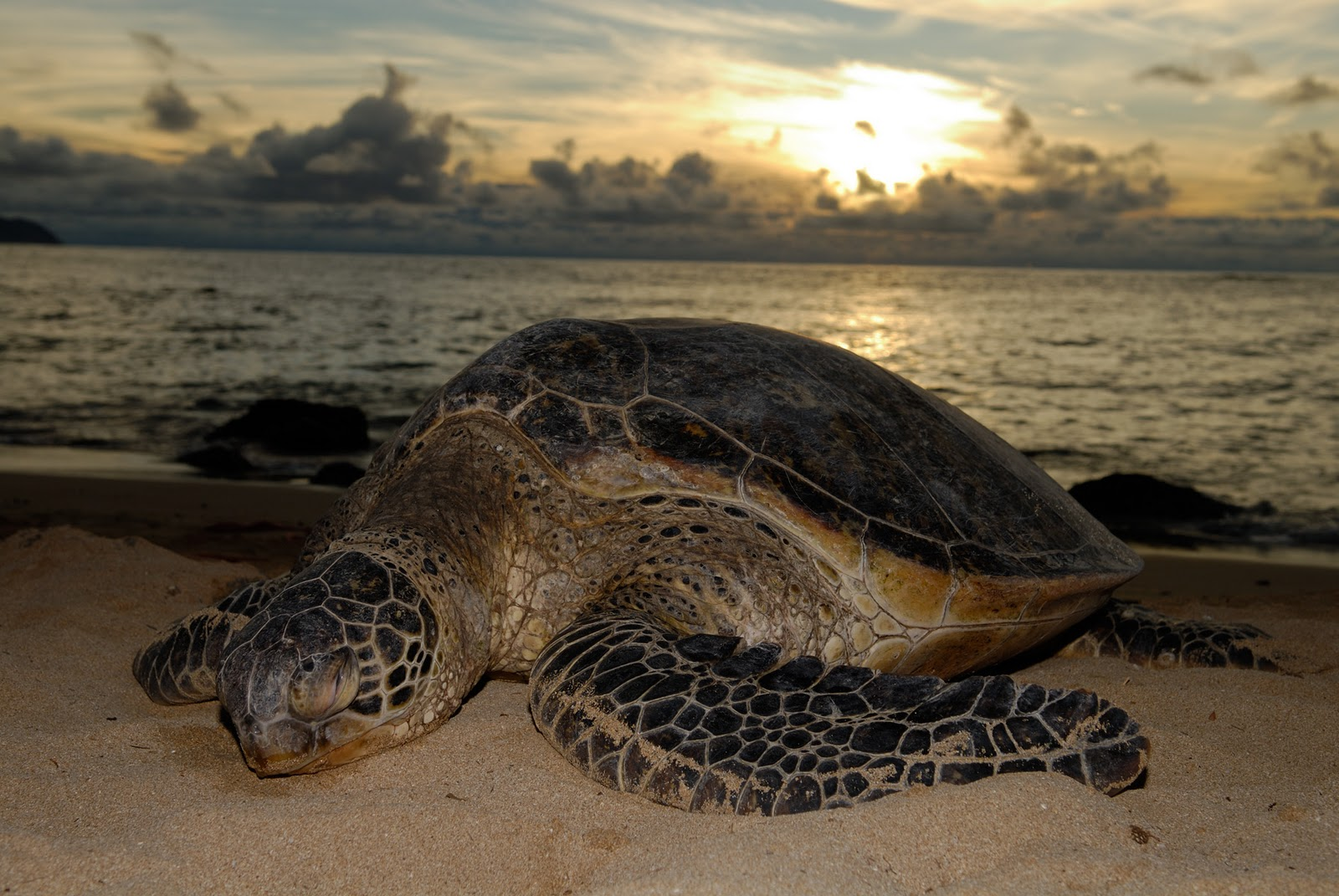 Green Sea Turtles 19