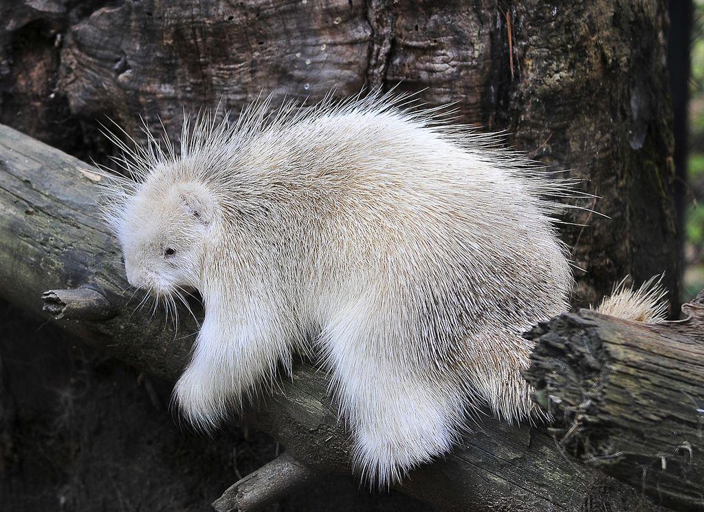 14. Albino Porcupine by Miles Greenacre