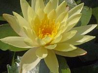 淡いクリーム色のスイレンの花。