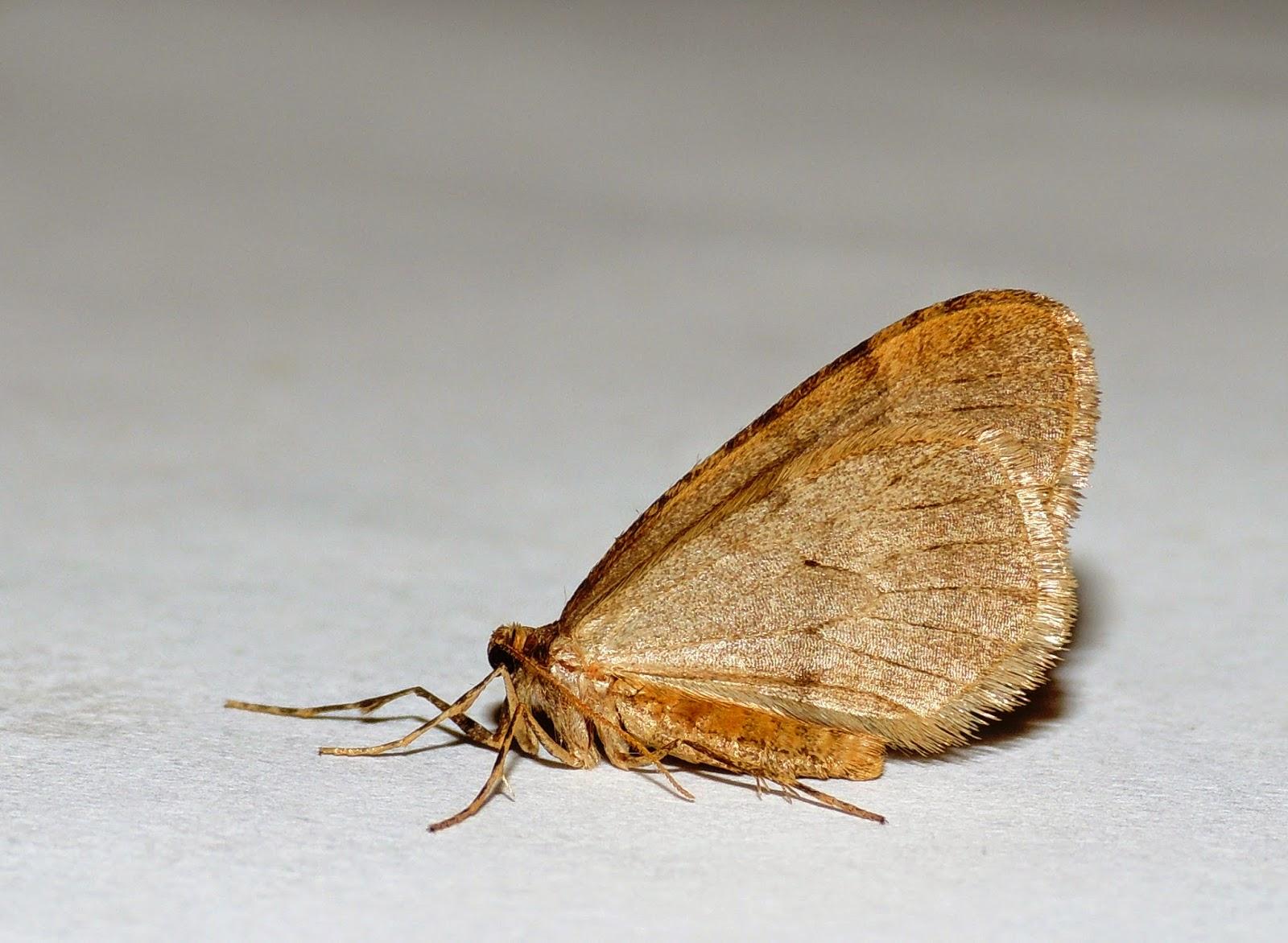 Operophtera brumata posada con las alas en vertical