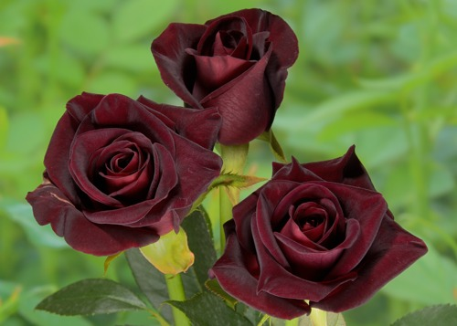 Black Baccara rose сорт розы фото