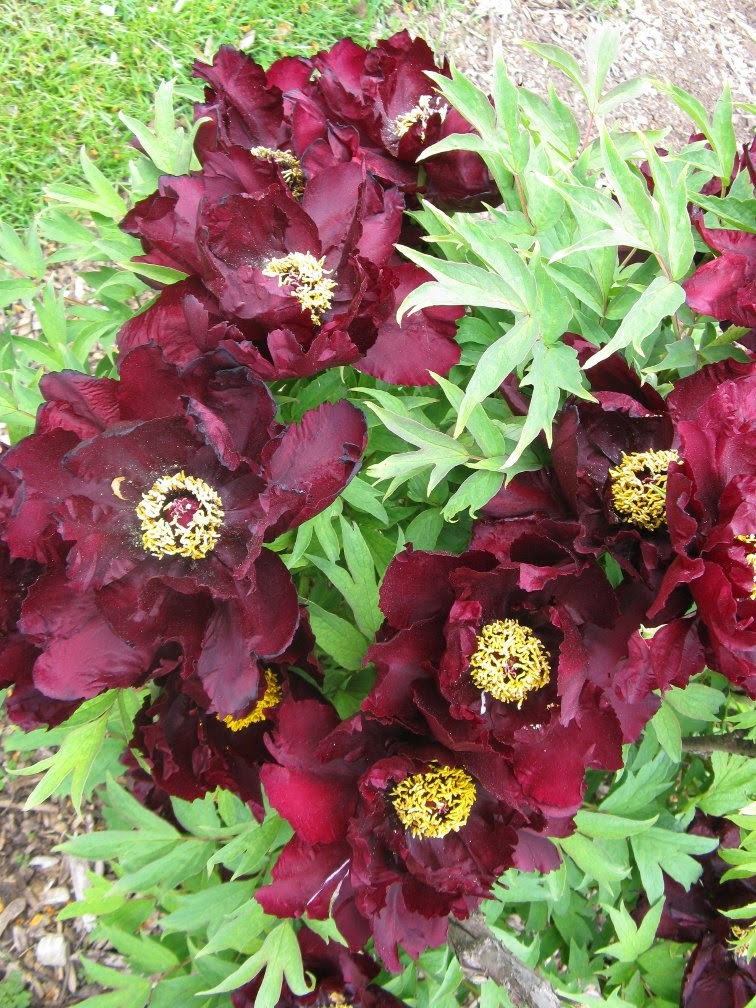 Royal Botanical Gardens dark purple wine tree peony by garden muses-not another Toronto gardening blog