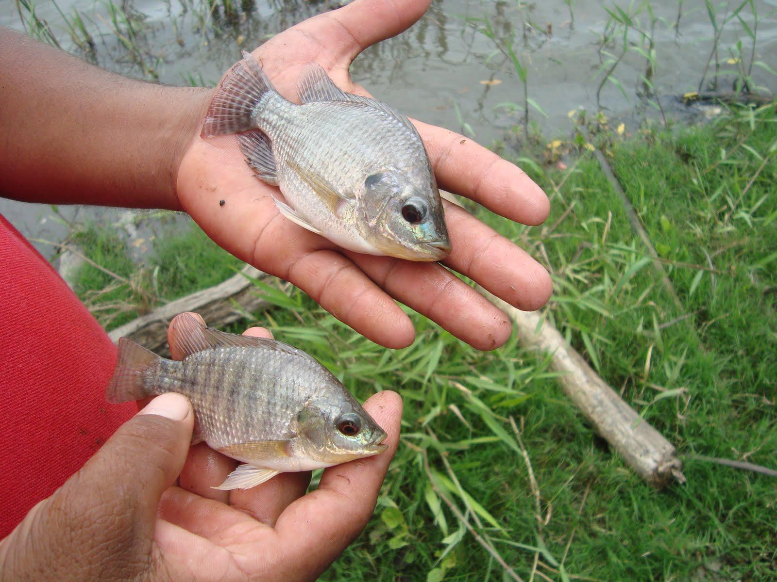 Pinodebate com en avance proyecto acuicola de cria y for Cria de tilapia