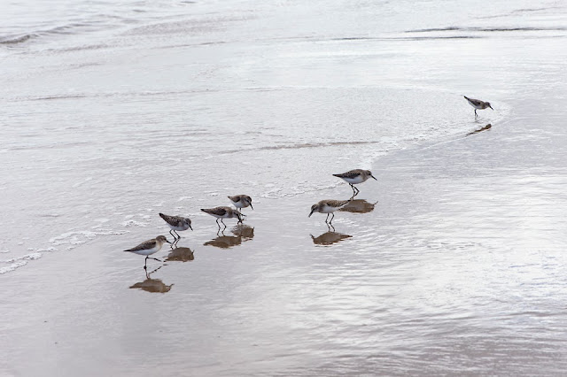 Nova Scotia; Sandpipers; Hirtle's Beach
