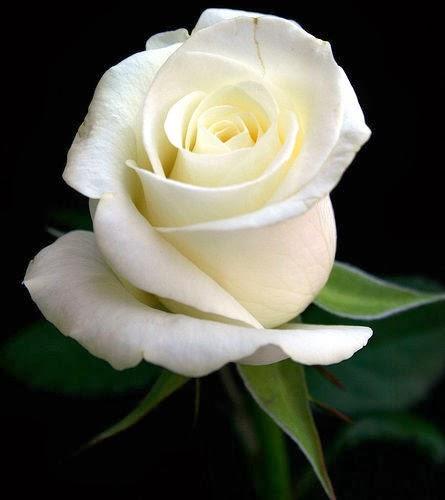 info minda bunga mawar