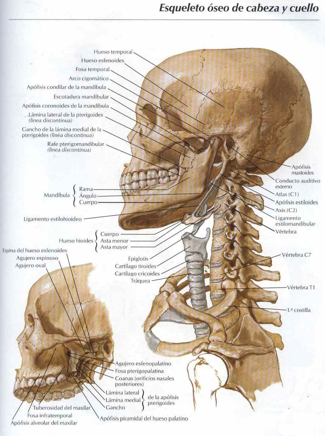 Esqueleto oseo de cabeza y cuello - Salud, vida sana, la medicina ...