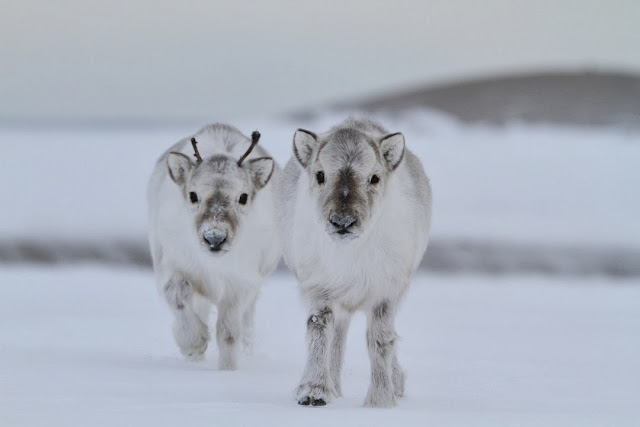 Funny animals of the week - 27 December 2013 (40 pics), baby reindeer pic