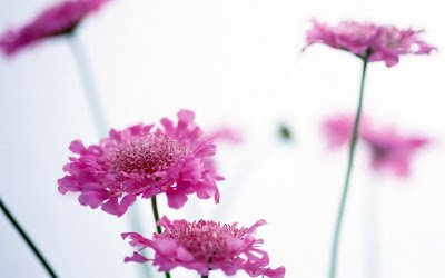 Pink Fragrance Flowers 3D HD Wallpapers