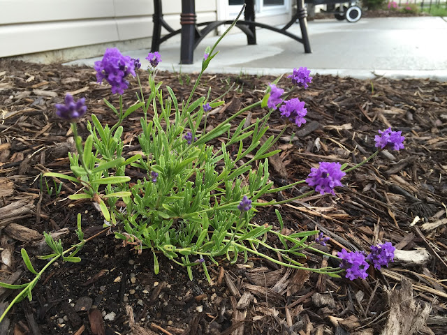 Lavandula angustifolia 'Wee One'
