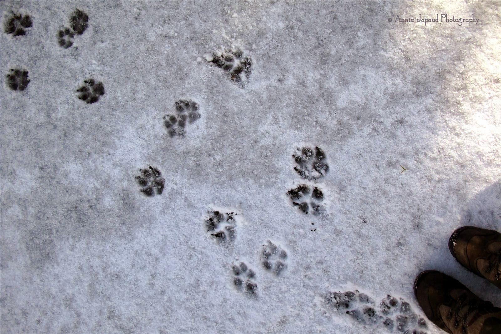 dog prints in the snow
