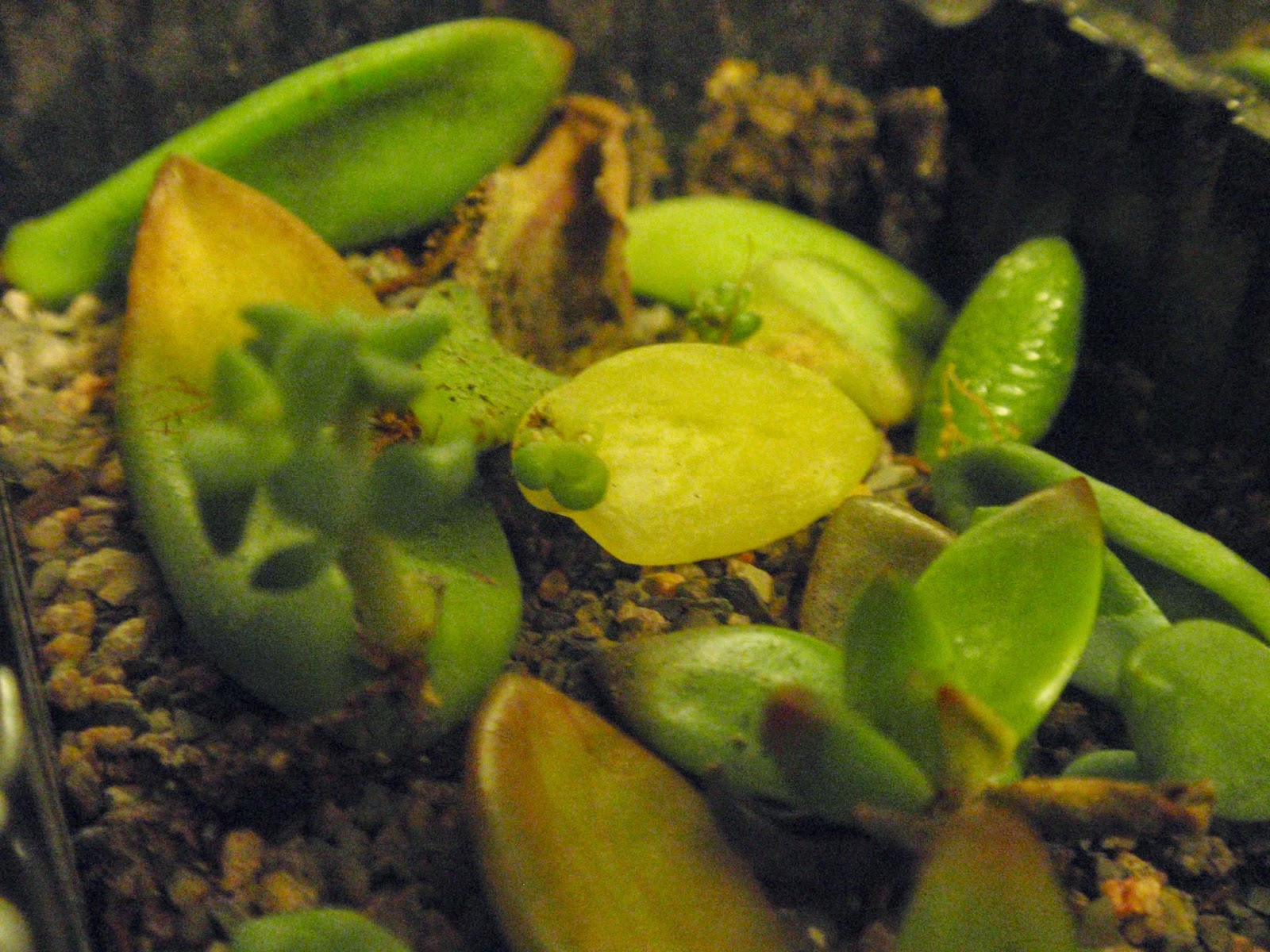 succulent propagation atop the small gritty mix particles