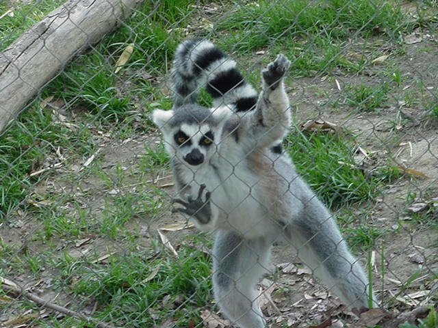 Is Ring Tailed Lemur Anthropoid