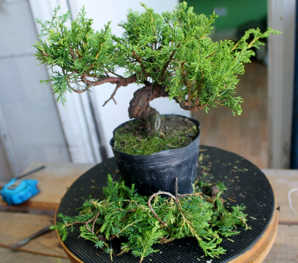 Little Cornish Trees Juniper Creation Pt1