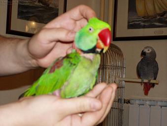Tamed Amp Talking Alexandrine Parakeet Raw Parrot For Sale