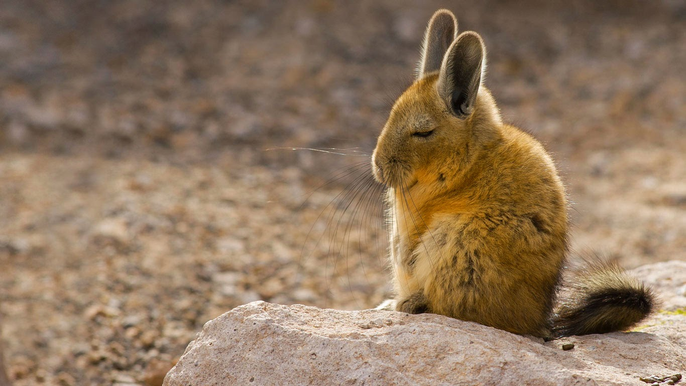 a southern viscacha in the andes mountains chris mattison minden pictures. Black Bedroom Furniture Sets. Home Design Ideas