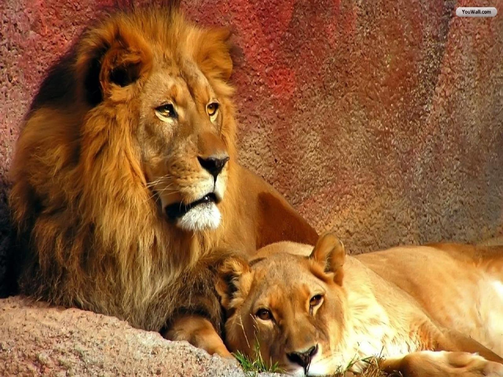 Lion Wallpaper Pack
