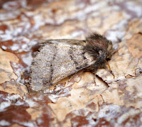 Latest New Macro Moth Species - Oak Processionary