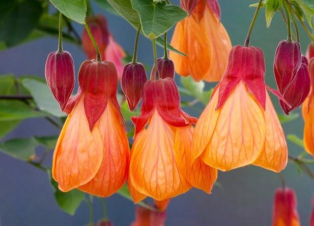 abutilon flor exotica imagen