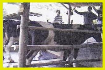susu-sapi-perah-pfh-kualitas-kuantitas-meningkat-menggunakan-produk-nasa-viterna
