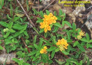 Know Before You Grow All Lantanas Are Not Created Equal