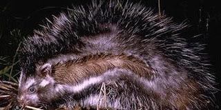 Tikus Cerdik Oleskan Racun di Jambulnya