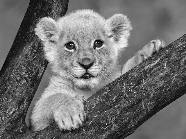 маленький красивый львёнок