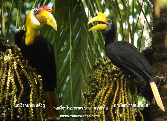 รวมภาพนกเงือก@ป่าฮาลา-บาลา
