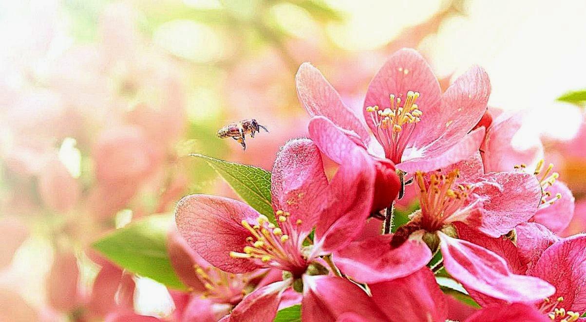 Warm and pure pink flowers desktop wallpaper 1280x720 hd wallpaper