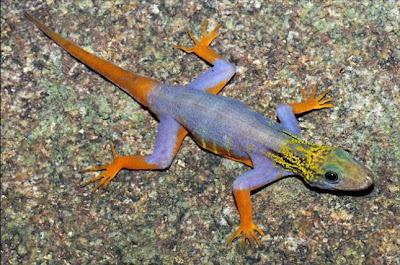 Salamanquesa Psicodélica, 208 nuevas especies descubiertas en el Gran Mekong, Asia - 2011
