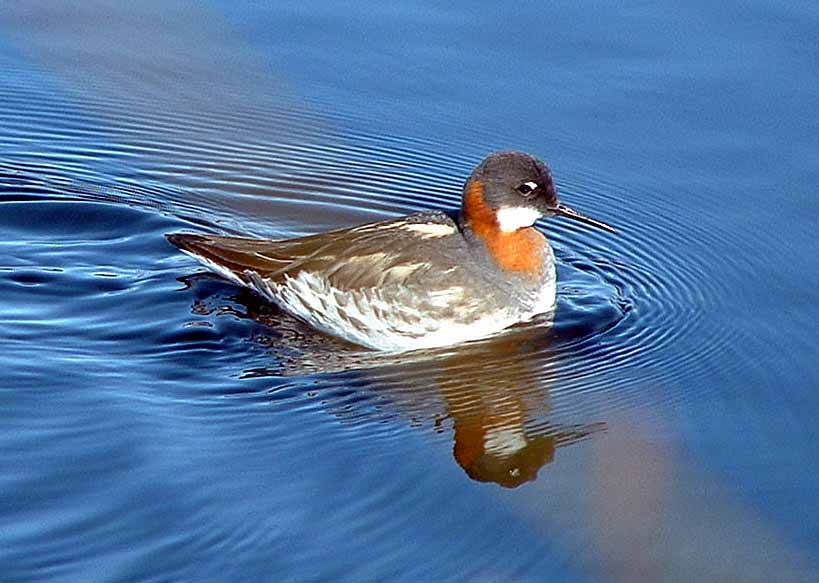 Red-necked Phalarope Red necked Phalarope photo