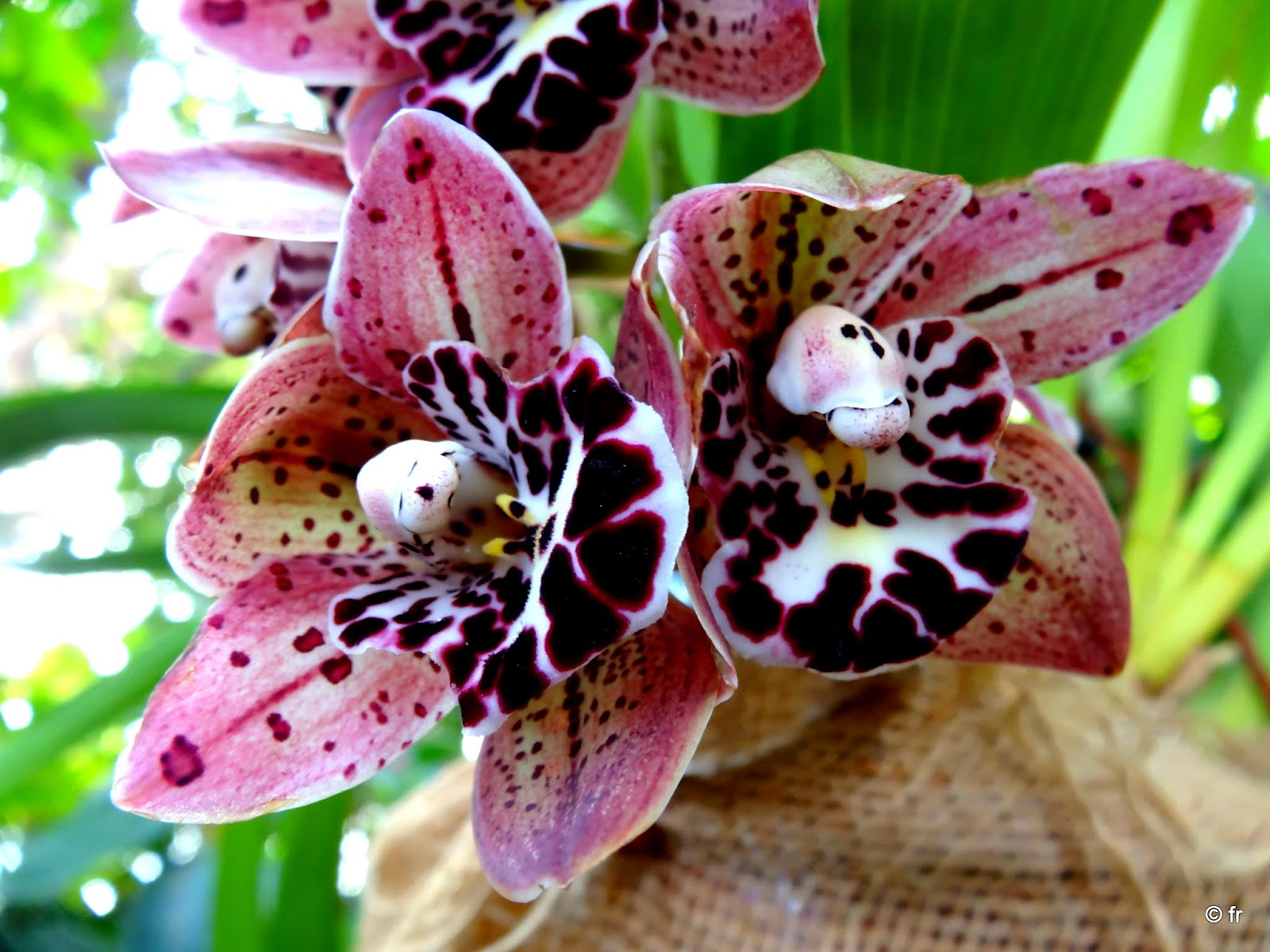 orchidee d'asie