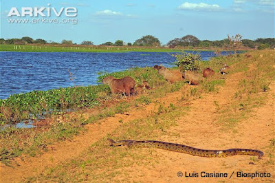 Green Anaconda and Capyvara