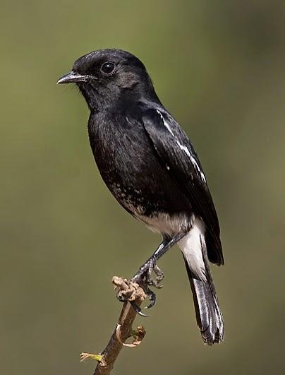 cara merawat burung decu agar cepat gacor bunyi tips