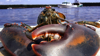 lobster-shell-disease-photo-3