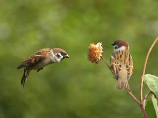 Gambar Sepasang Burung Gereja Erasia