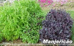 Manjericão/Alfavaca ou Basílico