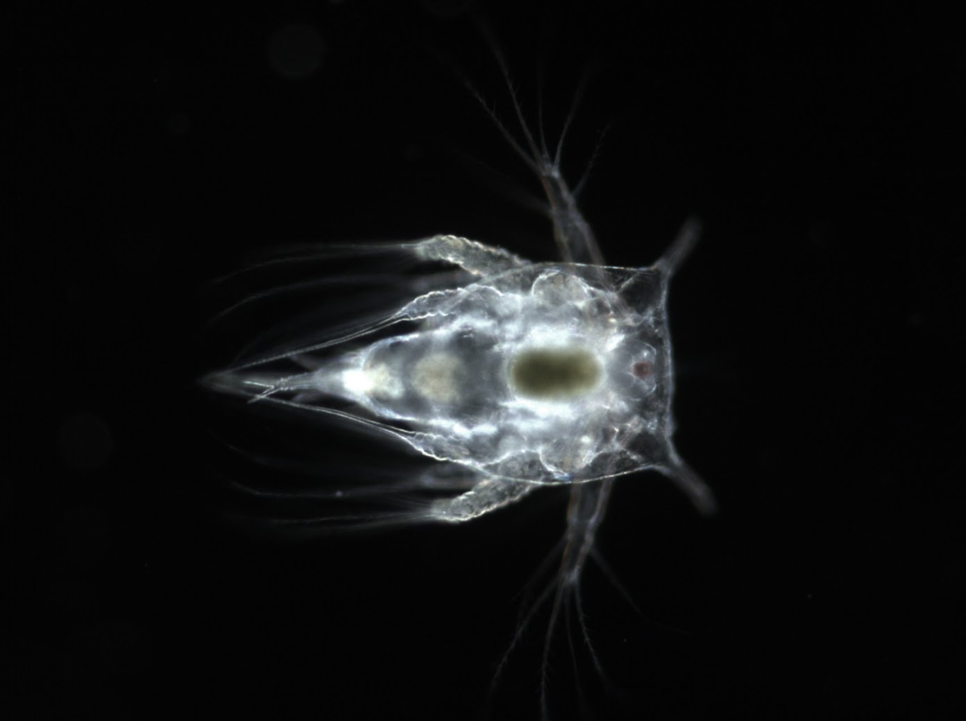 Barnacle in Nauplius larvae stage (SM) (4)