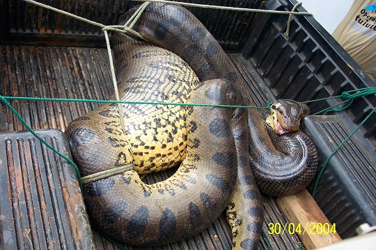 pires cobra3 - world biggest snake
