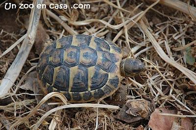 Juvenil de tortuga mediterránea