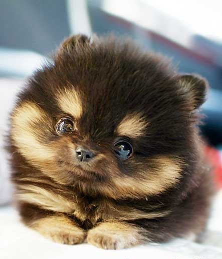 The Playful Pup: Teacup breeds of dogs