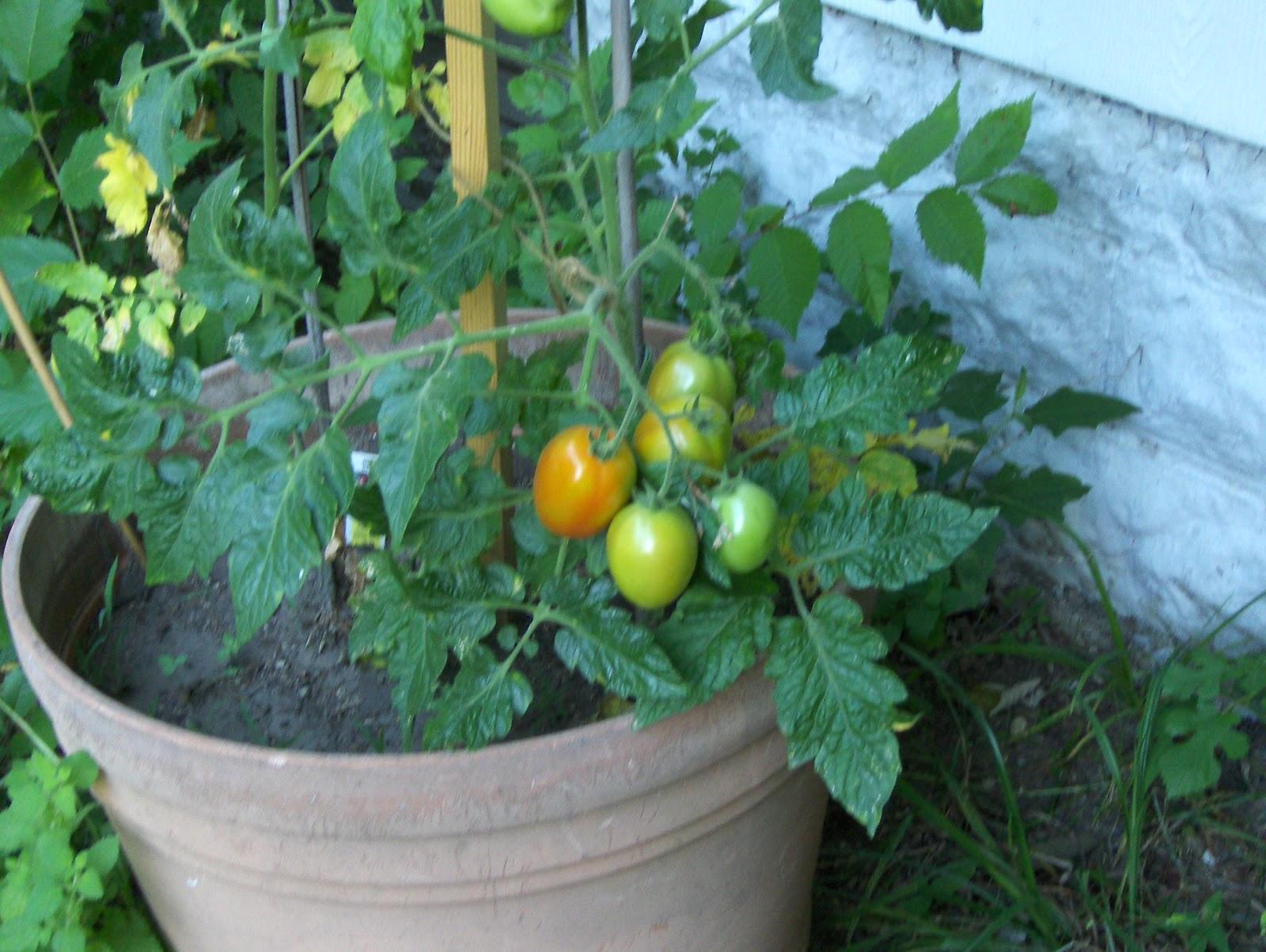 gardening, tomatoes