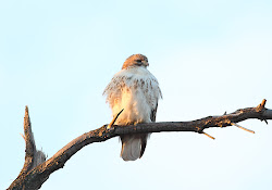 Female Red-Tailed Hawk