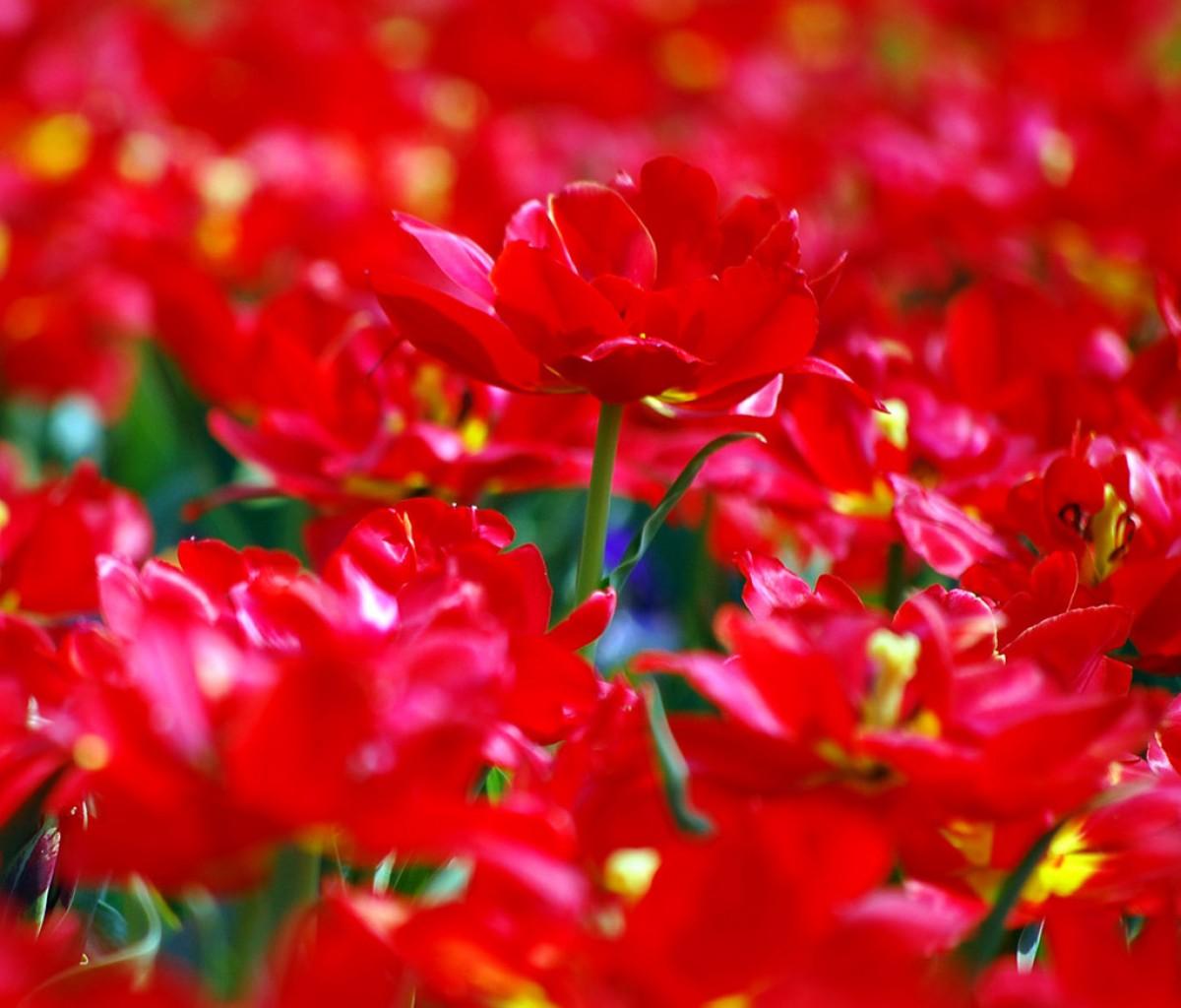 http://1.bp.blogspot.com/-WyZM3zmeC5I/T6uUEIZ6kGI/AAAAAAAACjM/Z8sNMgHTVXY/s1600/Tablet-red-tulips-1200x1024.jpg