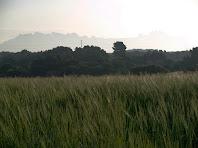 Els camps de cereals de Ca n'Amat del Samuntà amb Montserrat al fons