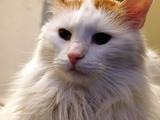 Avalon Turkish Van cat