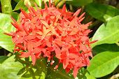 Flores de Isora