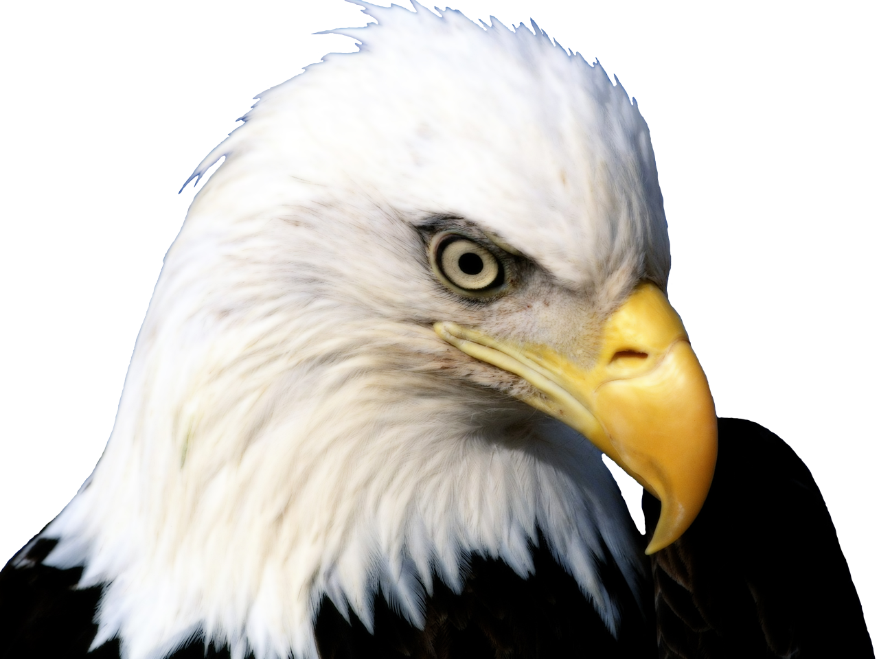 bald eagle render by - photo #13